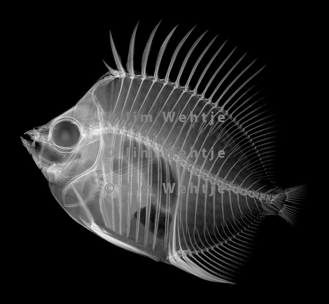 X ray image of a butterflyfish white on black jim wehtje for X ray painting