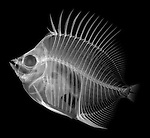 X-ray image of a butterflyfish (white on black) by Jim Wehtje, specialist in x-ray art and design images.