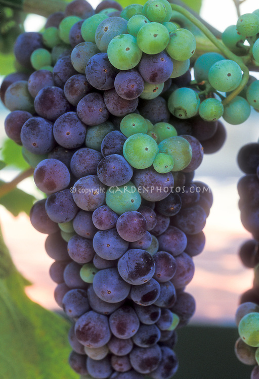 Wine grapes Vitis vinifera Merlot