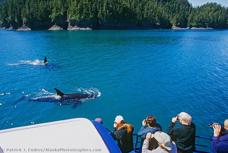 Tourists view and photography Killer Whales, (Orcas) from the bow of a boat in northern Prince William Sound, Alaska.