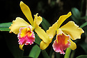 Hybrid Cattleya orchid, BLC Golden Ember x Olmec Treasure; Hawaii Tropical Botanical Garden, Hilo, Hawaii.