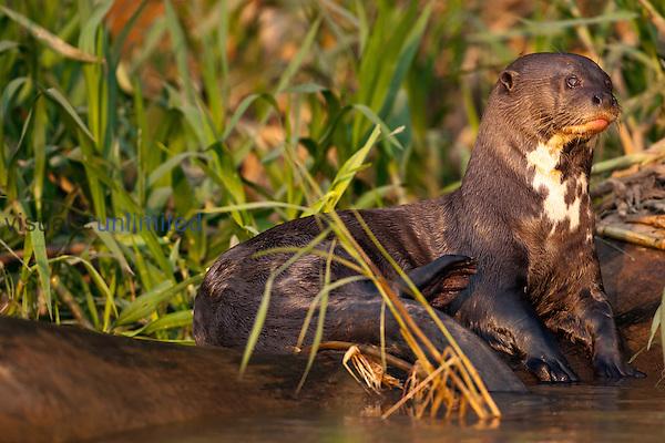 Giant River Otter (Pteronura brasiliensis), Pantanal National Park, Brazil, South America.