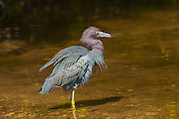 Bristling its winter-breeding plumage, this small heron known as the little blue heron wades in the shallows of a salty estuary on Sanibel Island.