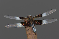 Widow Skimmer (Libellula luctuosa) Dragonfly - Male, Conant Brook Dam, Monson, Hampden County, Massachusetts