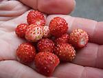 Fresh wild strawberrys in the hand