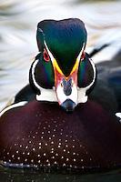 Wood Duck Head detail