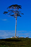 Cows grazing on a Costa Rican mountain top by a loan tree, under a blue sky.