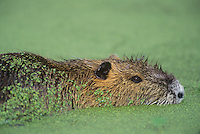 665955023 a wld nutria myocastor coypus floats in a duckweed pond in a nature conservancy property in louisiana