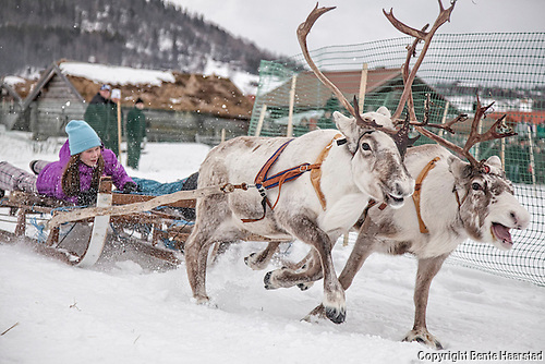 Reindeer racing - Funäsdalen