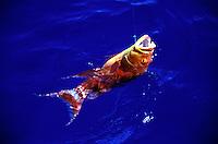 A reef fish caught near Majoro, Micronesia.