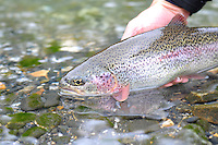 Rainbow trout from a small stream in south central Alaska