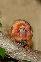 Adult Golden Lion Tamarin (Leontideus rosalia) on branch. Captivity