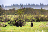 Grizzly Bear #610 and her cubs, on the lookout in Grand Teton National Park