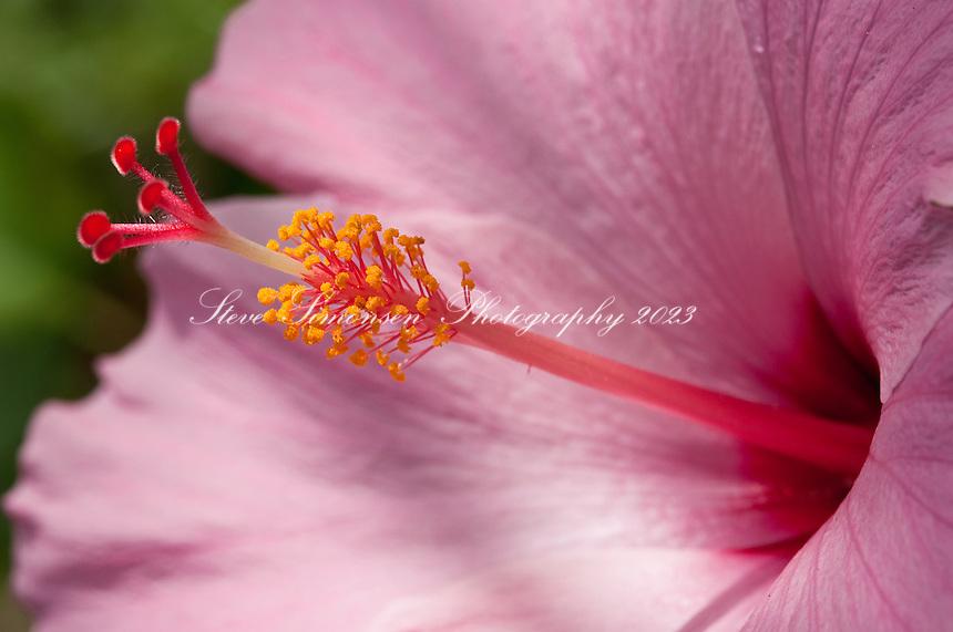Pink Hibiscus.Virgin Islands