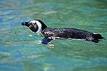 African Penguin Swimming