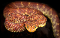 Variable Bush Viper (Atheris squamigera), captive.