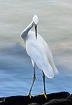 Egret on a rock 2, Balboa Island, CA.