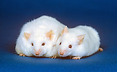 Obese and normal strains of Laboratory Mice.