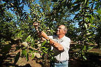 Agriculture - An almond grower inspects his mid season almond crop / near Newman, San Joaquin Valley, California, USA.