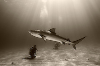 pk11159-D. Tiger Shark (Galeocerdo cuvier) and scuba diver (model released). Bahamas, Atlantic Ocean..Photo Copyright © Brandon Cole. All rights reserved worldwide.  www.brandoncole.com..This photo is NOT free. It is NOT in the public domain. This photo is a Copyrighted Work, registered with the US Copyright Office. .Rights to reproduction of photograph granted only upon payment in full of agreed upon licensing fee. Any use of this photo prior to such payment is an infringement of copyright and punishable by fines up to  $150,000 USD...Brandon Cole.MARINE PHOTOGRAPHY.http://www.brandoncole.com.email: brandoncole@msn.com.4917 N. Boeing Rd..Spokane Valley, WA  99206  USA.tel: 509-535-3489