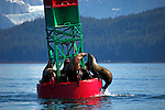North America, USA, Alaska. Stellar Sea Lions jostle for prime haul out space in Gastineau Channel.