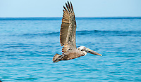 Pelican<br />