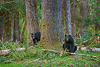 Black Bears (Ursus americanus) sow with yearling cub.  Olympic National Park Rain Forest.  May.