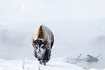 A bison cow looks in the direction of the photographer. The bison has recently arisen from sleeping through a snowy night and is covered in snow in Old Faithful Geyser Basin, Yellowstone National Park.  Photo by Gus Curtis.