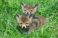 Red Fox pups (Vulpes vulpes) laying in grass, Normandy, France