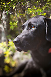 Headshot of black lab