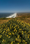 California: Yellow lupines at Point Reyes National Seashore near San Francisco. Photo copyright Lee Foster. Photo # casanf81440