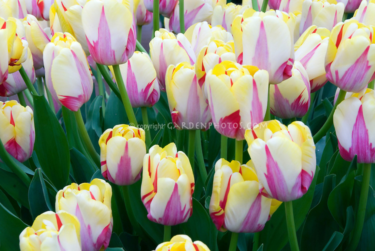 Tulip World Expression striped red and cream yellow masses of flowers
