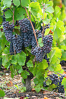 Goblet pruned vines in the vineyard. Bunches of ripe grapes. Gamay. Domaine Tracot Dubost, Beaujolais, France