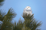 A snowy owl sits in the top branches of a ponderosa pine tree in western Montana