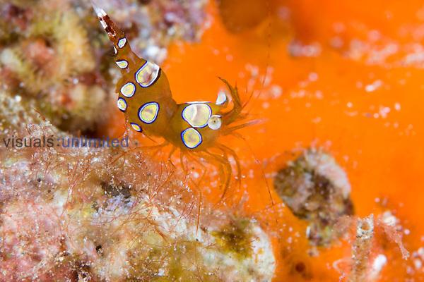 High-tailed or Squat Shrimp (Thor amboinensis), Hawaii, USA.