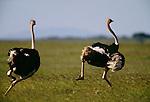 Masai ostrich, Samburu National Reserve, Kenya