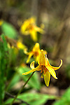 Trout lily, Erythronium americanum, Adder's Tongue