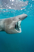 Basking Shark (Cetorhinus maximus) filter feeding on plankton off Cornwall, England