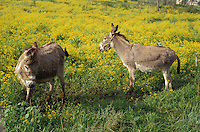 Two donkeys in field of golden rod.