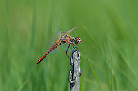 362800020 a wild male variegated meadowhawk sympetrum corruptum perches on a dead stump along a canal off mazurka road near independence california