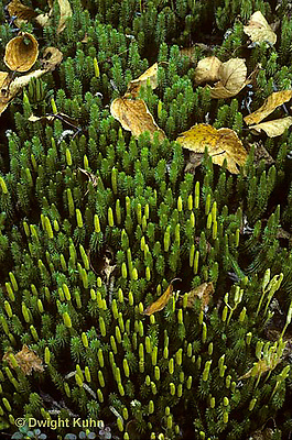 LY03-013z  Club Moss - strobuli, ground pine - Lycopodium annotinum