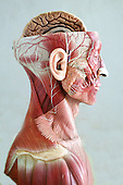 An anatomical model showing the musculature of the head, neck and shoulders. The top half of the skull has been sliced open, displaying the top half of the brain. Anatomical models are commonly used for training purposes as they make for clearer demonstration than anatomical specimen. Royalty Free