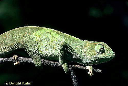 CH25-033z  African Chameleon - color change due to temperature difference, under leaf skin was cooler, see CH25-032z - Chameleo senegalensis
