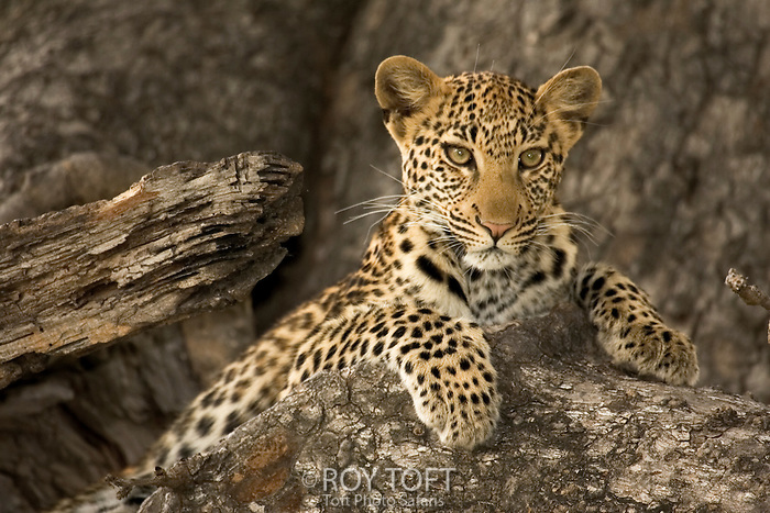 A leopard (Panthera pardus) at rest, Botswana