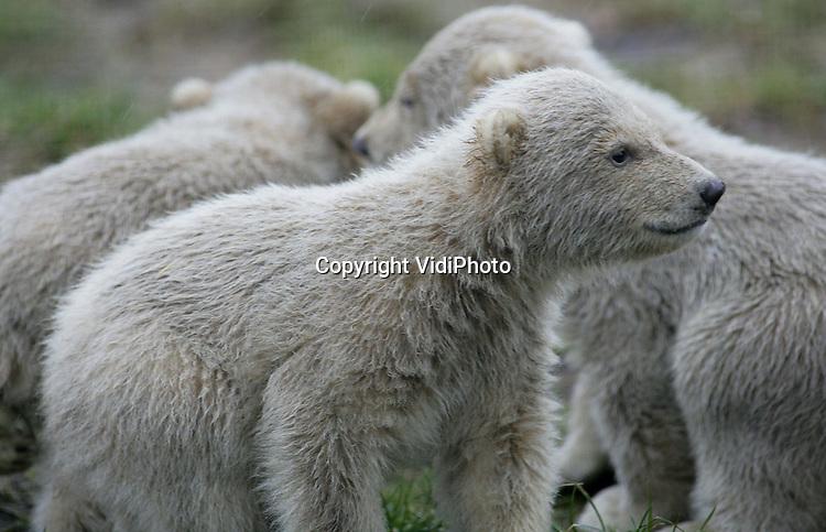 Foto: Henk Aalbers..RHENEN - Ouwehands Dierenpark in Rhenen beleefde vrijdag een wereldprimeur. De drie jonge ijsbeertjes die op 26 november 2005 werden geboren mochten samen met moeder Huggies voor het eerst naar buiten. Het is nog niet eerder gebeurd dat een ijsbeer in gevangenschap drie jongen heeft groot gebracht.