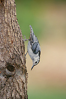 White Breasted Nuthatch, Sitta carolinensis, fetching insects from a tree. Midwest USA