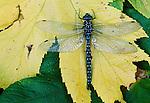 Dragonfly, Alaska