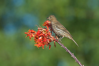 528800250 a wild female house finch podocarpus mexicanus perches on a flowering ocotillo foqueria splendens plant in southern arizona