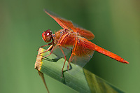 389310023 a wild male flame skimmer libellula saturata perches on a cattail reed at fullerton arboretum fullerton california united states