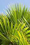 Grand Bahama Island, The Bahamas; graphic Palmetto Palm fronds against a blue sky